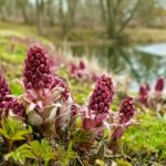 Migraine – Butterbur Herbal Remedy